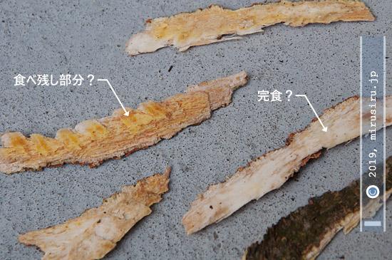 タイワンリスによる樹皮の食べかす 2019/02/20