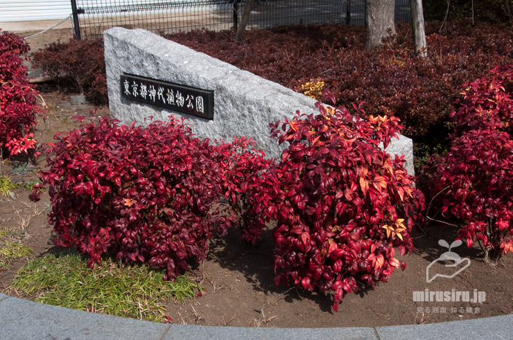 オタフクナンテンの植え込み 東京都調布市・神代植物公園 2019/02/24