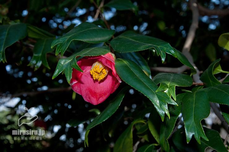 ツバキ('金魚葉椿') 東京都調布市・神代植物公園植物多様性センター 2019/02/24