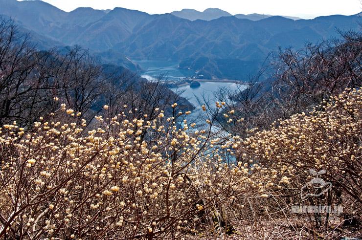 ミツマタ群生地、背景は丹沢湖 山北町世附・大出山(ミツバ岳) 2017/04/04