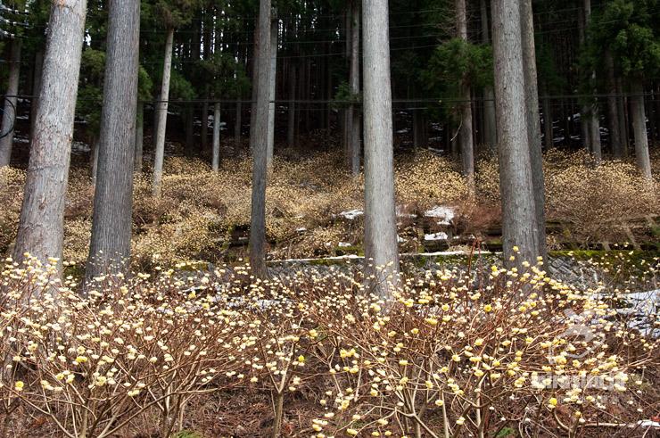 ミツマタ群生地 秦野市丹沢寺山・裏ヤビツ 2017/04/04