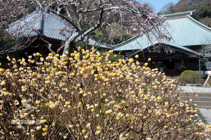ミツマタ 鎌倉市・海蔵寺 2018/03/13
