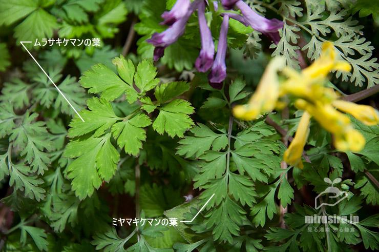 ムラサキケマンとミヤマキケマンの葉の比較 大磯町・高麗山公園 2016/04/02