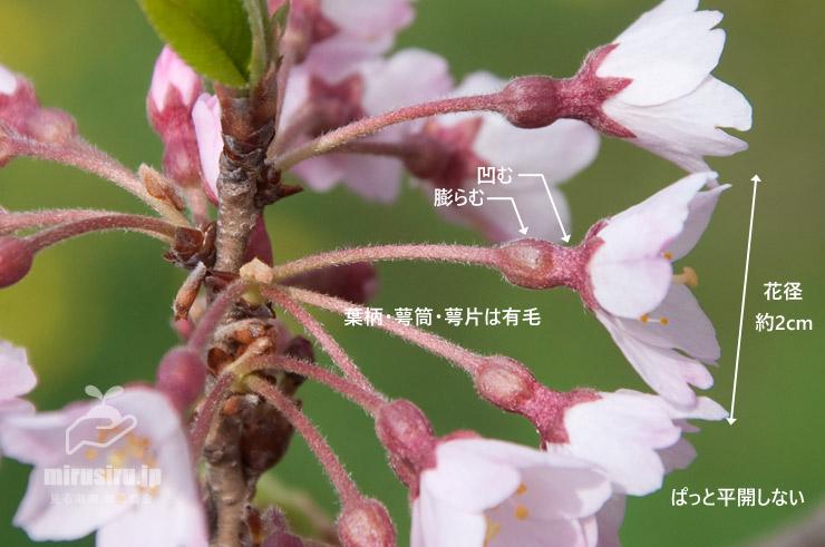 エドヒガン('大磯小桜')の葉柄や萼筒などの特徴 大磯運動公園 2017/04/10