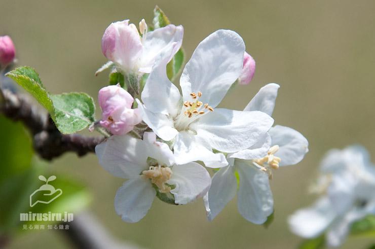リンゴ('ひろさきふじ') 平塚市・花菜ガーデン 2017/04/25