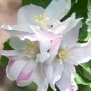 ニュートンのリンゴ 横浜市南区・こども植物園 2017/04/28