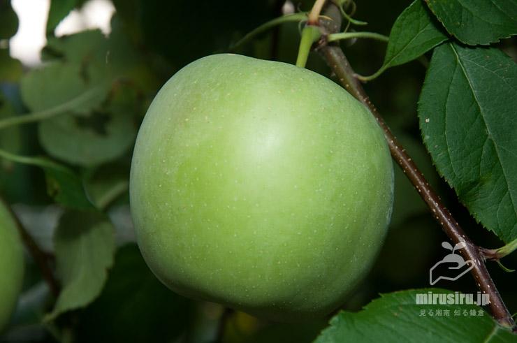 リンゴの未熟な青い実 茅ケ崎市浜之郷 2018/07/18