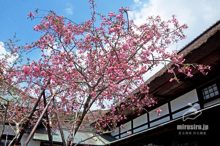 ハナカイドウ 鎌倉市・海蔵寺 2019/03/31