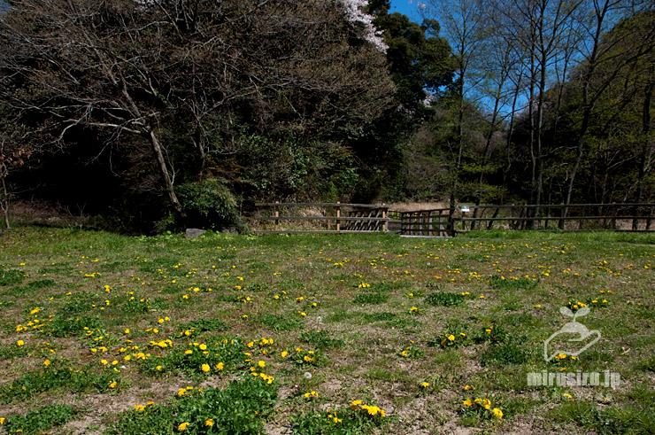 公園の広場を占拠したセイヨウタンポポ 横浜市栄区・小菅ケ谷北公園自然観察ゾーン 2019/04/04