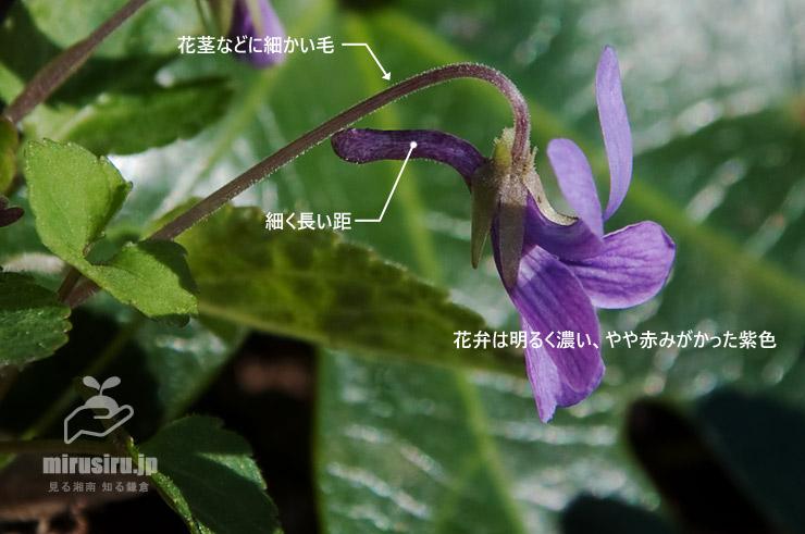 アカネスミレの特徴(の一部) 横浜市栄区・小菅ケ谷北公園 2019/04/04