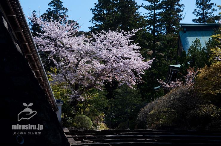 ソメイヨシノ 鎌倉市・円覚寺 2019/04/09