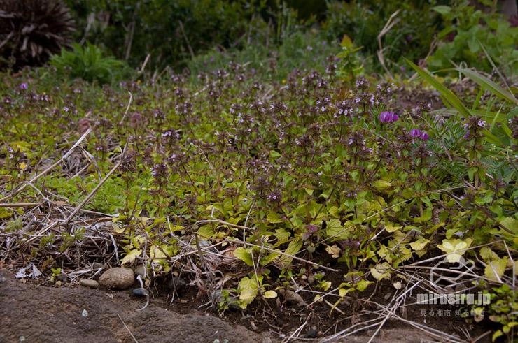 ヤブチョロギの群生、濃い赤紫花はカラスノエンドウ 大磯町国府本郷 2019/04/11