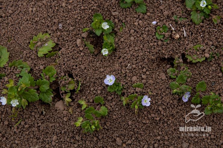アリの巣に生えたシロバナオオイヌノフグリ、白いほど花が小さい傾向 茅ヶ崎市西久保 2019/04/17