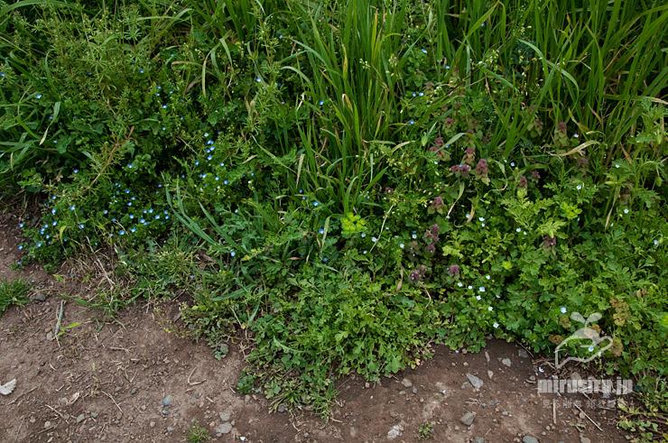 オオイヌノフグリ(左側の青花群)とシロバナオオイヌノフグリ(右側の白花群) 茅ヶ崎市西久保 2019/04/17