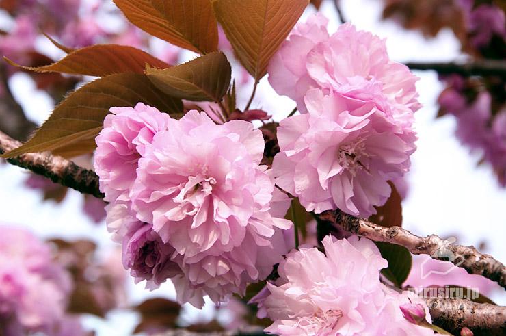 ヤエザクラ 茅ヶ崎市・萩園西公園 2019/04/19