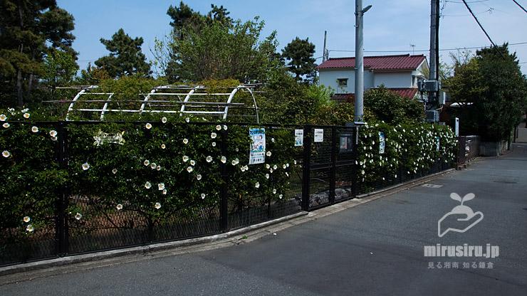 金属フェンスに這わせたナニワイバラ 茅ヶ崎市・氷室椿庭園 2019/04/21