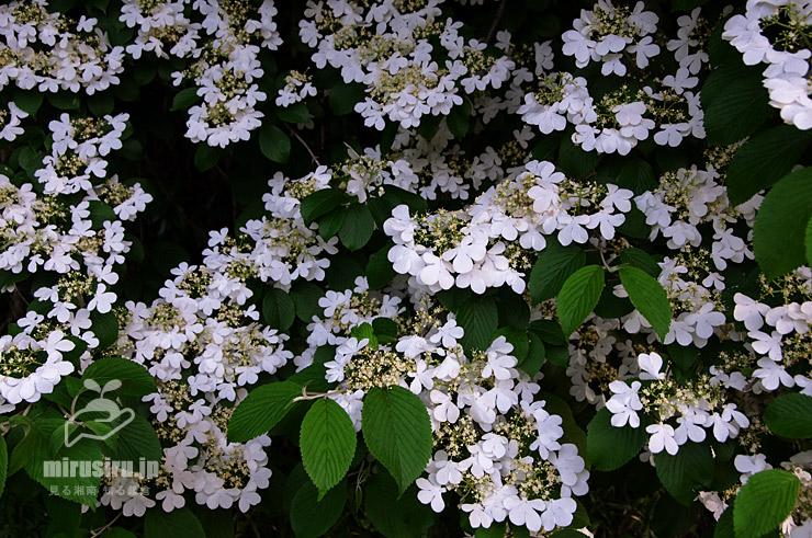 ヤブデマリ 鎌倉中央公園 2016/05/05