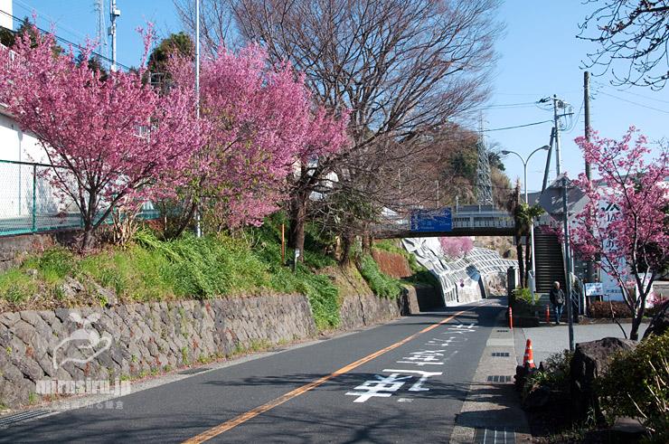 オカメザクラ 小田原市・JR根府川駅前 2018/03/12