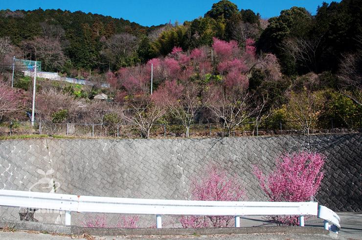 オカメザクラ 小田原市根府川・きのこ苑お山のたいしょう 2018/03/12