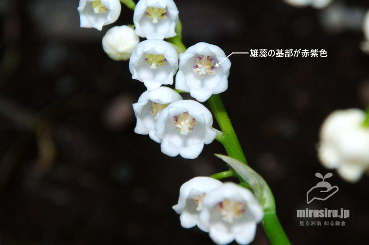 ドイツスズランの特徴 茅ヶ崎市・中央公園 2018/04/19