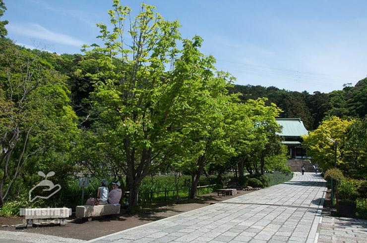 セイヨウトチノキ 鎌倉市植木・龍宝寺 2019/05/05