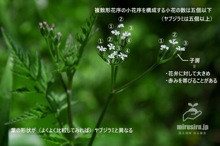 オヤブジラミの特徴(ヤブジラミとの違い) 鎌倉市・大船フラワーセンター 2019/05/05