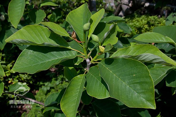 ウケザキオオヤマレンゲの葉(と蕾) 鎌倉市・大船フラワーセンター 2019/05/17
