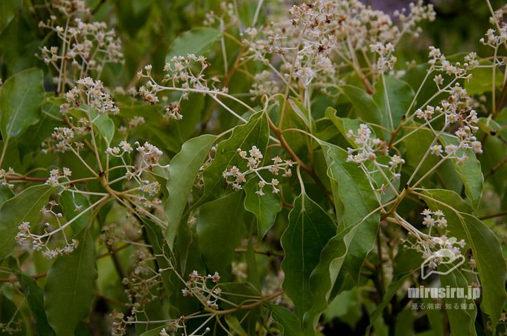 既に咲き終わって茶色くなったものも混じる満開時のクスノキ 茅ヶ崎市・中央公園 2019/05/18