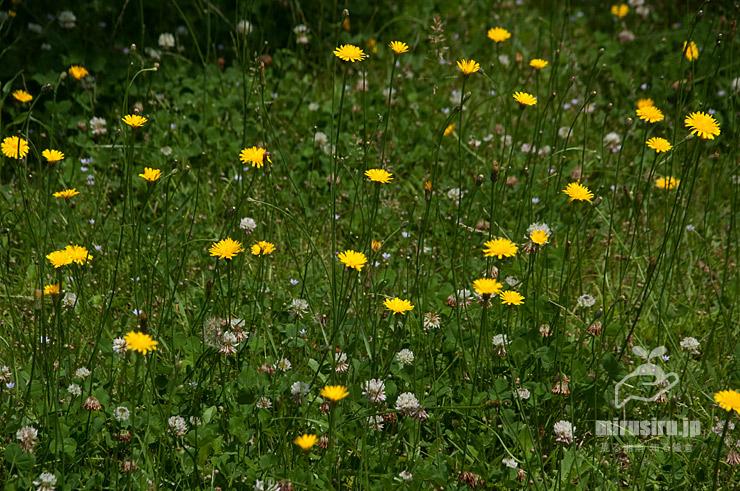 ブタナの群生(白花はシロツメクサ) 藤沢市・舟地蔵公園 2019/05/27