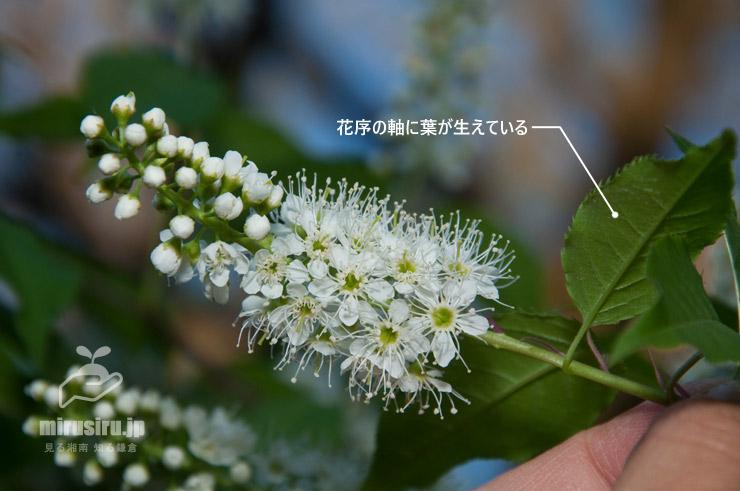 ウワミズザクラの特徴 平塚市・総合公園 2017/04/19