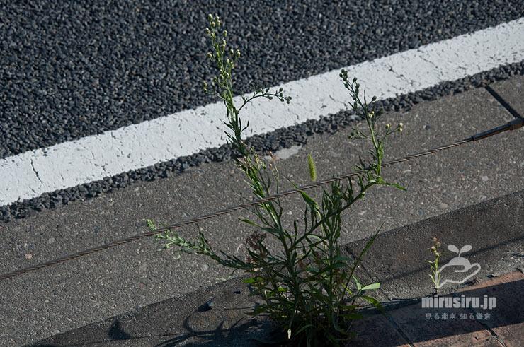 アレチノギクの不格好でだらしない姿 茅ヶ崎市・国道13424号線 2019/06/05
