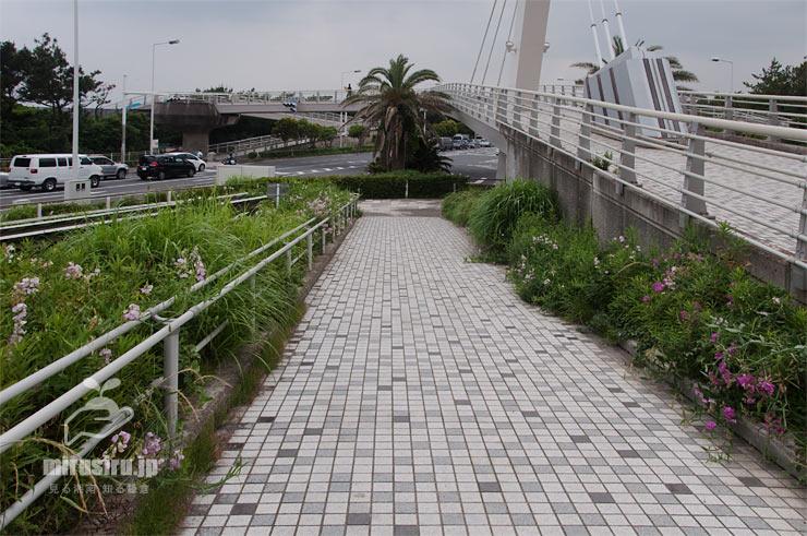 ヒロハノレンリソウ 茅ヶ崎市・浜須賀歩道橋 2019/06/08