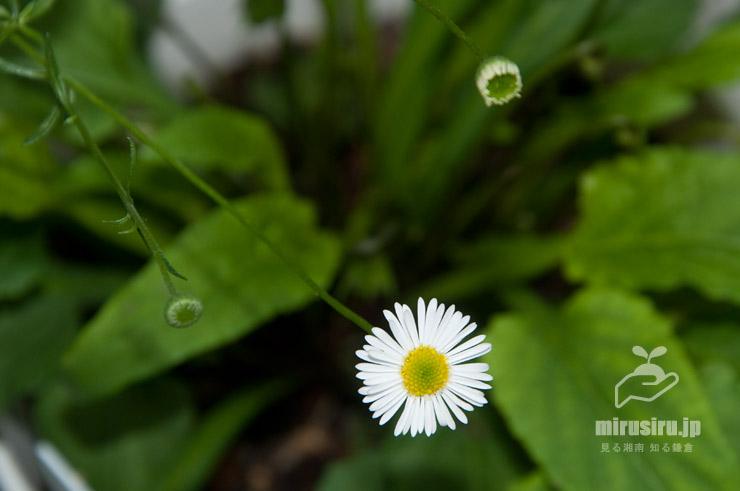 ペラペラヨメナ(ゲンペイコギク)の蕾(左)、咲きかけ(右)、開花中(中) 茅ヶ崎市浜之郷 2019/06/09