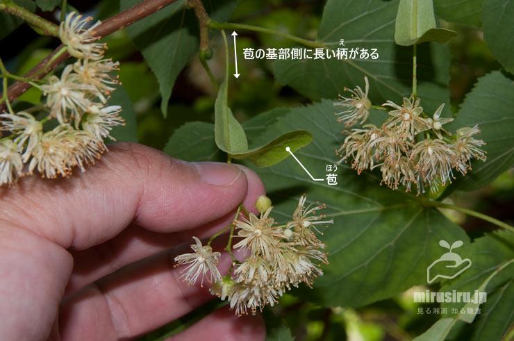 シナノキの苞 鎌倉市・円覚寺龍隠庵 2019/06/13
