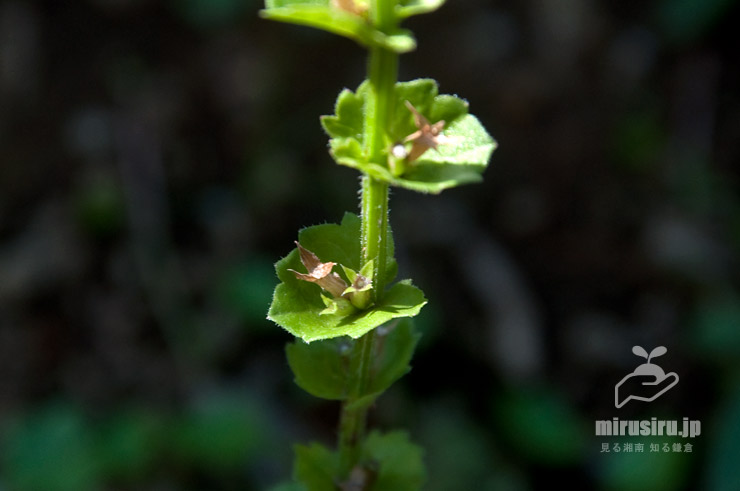キキョウソウの葉(と、閉鎖花が作った実) 鎌倉市・大船フラワーセンター 2019/06/13