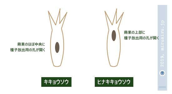 キキョウソウとヒナキキョウソウの蒴果に開いた孔の位置の違い
