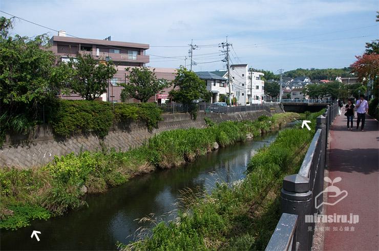 河川に帰化したオオフサモ(白色矢印) 横浜市栄区・いたち川 2019/06/26