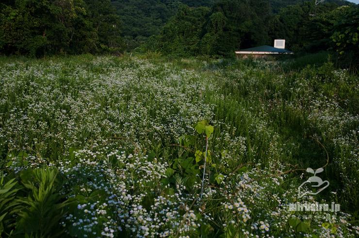 ピクニック広場を覆ったヒメジョオンの大群生 横浜市栄区・横浜自然観察の森 2019/06/26