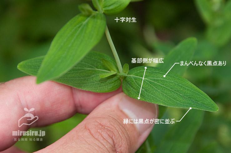 オトギリソウの葉の特徴 横浜市戸塚区・舞岡公園 2019/07/05