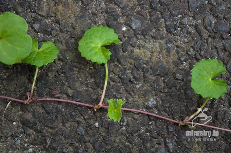 ツボクサの茎や葉(アスファルト上に伸びたため根は出ていない) 茅ヶ崎市汐見台 2019/07/09