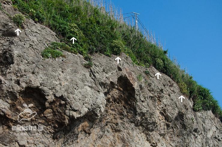 岩崖上に生えたボタンボウフウ(白色矢印) 藤沢市・江の島・稚児ヶ淵 2019/07/25
