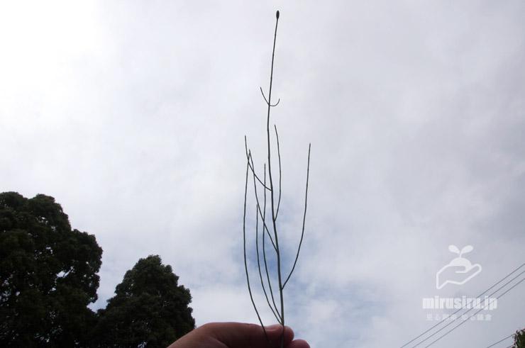 イヌドクサの枝をよく出しているもの 茅ヶ崎市・中央公園 2019/07/26