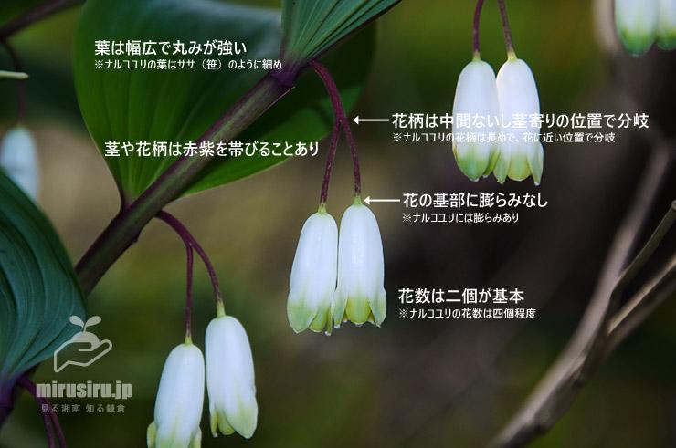 アマドコロ(フイリアマドコロ)の特徴 鎌倉市・大船フラワーセンター 2019/04/21
