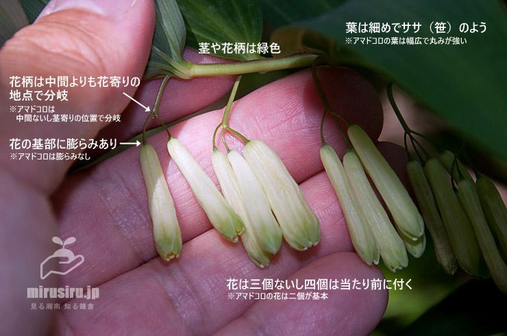 ナルコユリの特徴 逗子市桜山 2019/05/23