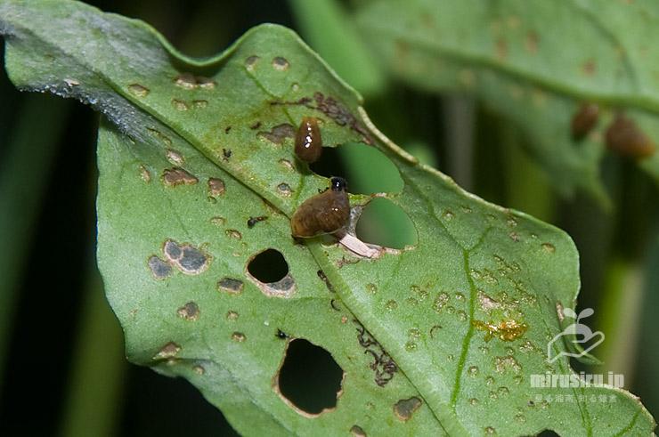 クコの葉を食害するトホシクビボソハムシの幼虫 茅ヶ崎市西久保 2019/06/05