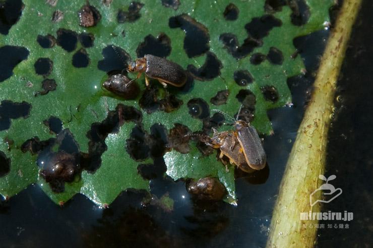 ヒシの葉を食害するジュンサイハムシ 大磯町・東の池 2019/08/03