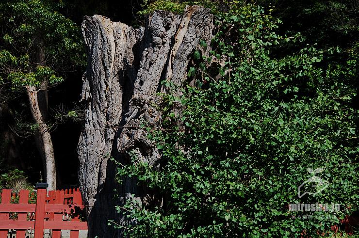 倒伏した大イチョウの幹だったものとその脇に生えてきたイチョウ 鎌倉市・鶴岡八幡宮 2019/08/11