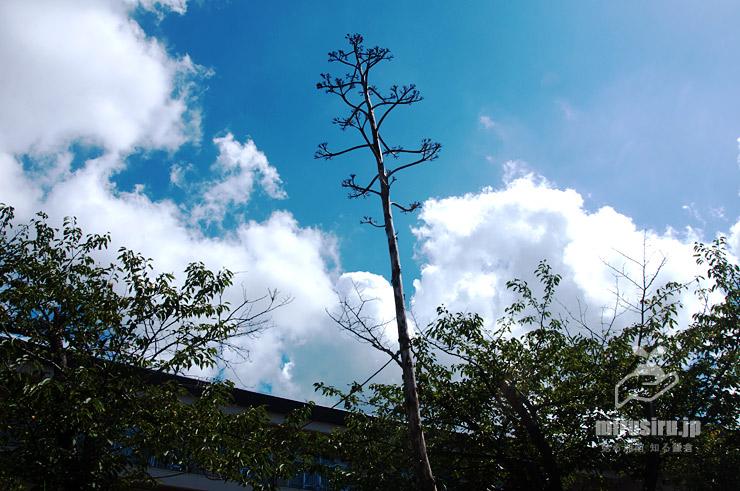 まだあったアオノリュウゼツランの実の残骸 横浜国立大学教育学部附属鎌倉小学校 2019/08/11