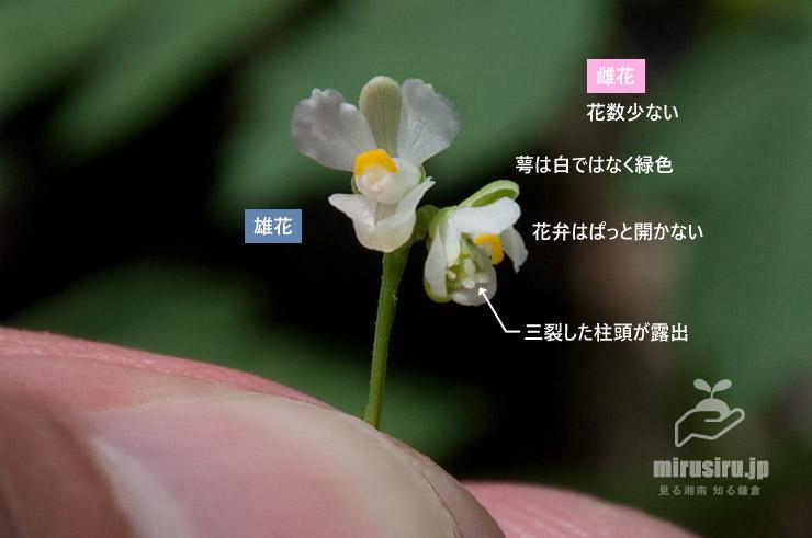 フウセンカズラの雄花と雌花 茅ヶ崎市浜之郷 2019/08/17