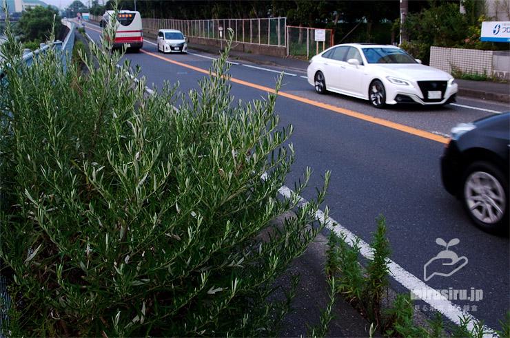 歩道に生えて巨大化した真夏のヨモギ 鎌倉市上町屋・江ノ電バス「町屋橋」バス停付近 2019/08/18
